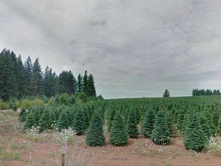 50 Acres Leased for Christmas Trees